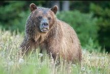 Grizzly Bears / ghostbearphotography.com