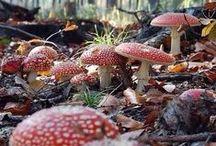 ** FUNGHI ** / Funghi commestibili, velenosi,ricette,tartufi..........