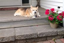 Corgis / The most wonderful dogs in the world. In memory of my Annie (2001-2015), Taffy (1992-2003), and Jenny (1989-2004). / by Shani Jones