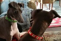 Zuly & Zeke <3 / Zulekia, otherwise known as Zuly, and her little brother, Ezekiel, but we call him Zeke.  <3  The two most adorable Italian Greyhounds in the whole wide world. / by Raine Miller