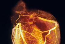 anatomical organs- hearts