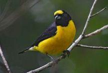 BIRDS PHOTOS / Brazilians birds