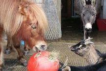 raufutterball - die rollende Heuraufe - beschäftigt ihre Tiere / bringen sie Abwechslung und Beschäftigung in den Alltag ihrer Tiere - Raufutterball mit z.b Heu, Stroh, Gras, usw. befüllen und  schon geht der Spass los