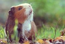 Guinea pigs :3 / One of my favourite animals...