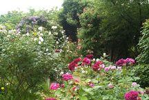 Roses / Roser jeg elsker. Sorter jeg har selv eller ønsker meg. Noen fra egen hage. Ideer om hvordan plante de.