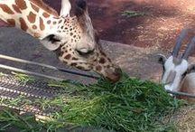 Animals / 動物の中で、キリンが一番好きです。 次がカバかな(●^o^●)