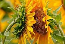Sunflover / beautiful photos from sunflover