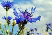 Cornflower -búzavirág - nevädza / picture