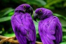 Purple / Purple birds.