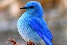 Blue / Blue birds.