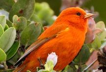 Orange / Orange birds.
