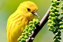 Yellow / Yellow birds.