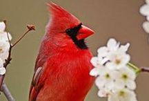 Red / Red birds.