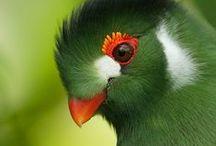 Green / Green birds.