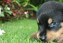 Sweet #Rottweiler #puppies / One look on this beautiful creatures will be enough to fall in love forever)))) / by Rottweiler Online Store