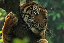 Leoni e tigri <3