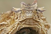 """Horny Toads / The short-horned lizard is often referred to as a """"horned toad"""" or """"horny toad"""" because its squat, flattened shape and short, blunt snout give it a toad-ish look. There are over a dozen recognized species found in the deserts and semi-arid environments of North and Central America, from southern Canada to Guatemala."""