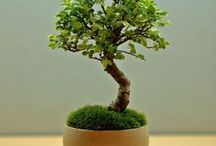 Mini Bonsai / by Aiko Hisanaga
