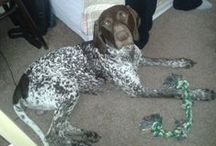 Atrei Arline Hunter ♥♥♥ German shorthaired pointer ♥♥♥ / About our lovely dog :)