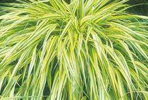 Grasses / Garden ornamental grasses