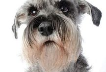 "bradáč / SCHNAUZER / Once the property will be secured we will ""double secure"" it with this lovely dog  #WRAF"