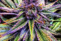 Medical Marijuana / Medical Marijuana..Keep it clean and relevant....Your contributions are changing people's lives♡♡♡