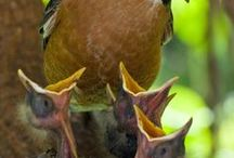 American Robin and Other Feathered Friends