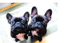 frenchies. / Cant help to fall in love every time