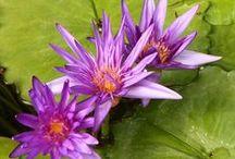 Purple Water Lillies