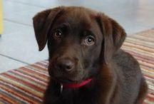 Labrador / Soms vergeet ik hoe goed het is om in beweging te zijn. En heel vaak vergeet ik in het nu te leven, maar denk ik aan hoe het was of hoe het zal zijn. Sinds kort hebben we de beste hulp die er is: onze Labrador Eva. Waar ik aan moet denken, doet zij van nature.