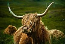 Vacas, Toros y Bueyes