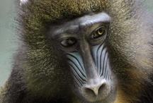 Primates / Imágenes de primates de todas las especies