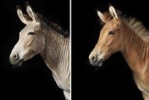 Zonkeys (Zebra x Donkey) and Zorses (Zebra x Horse) / Imágenes sobre estos híbridos, cruces de cebra con caballo o burro, que al igual que la mula, empiezan a tener un espacio en el mundo equino y animal