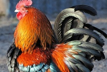 Gallinas y Gallos / En este tablero quiero recopilar imágenes y videos sobre razas de gallinas, gallos y pollitos en el mejor ambiente, siempre desde el respecto a estas aves de granja, por lo que nunca publicaré imágenes de sacrificios o producción intensiva.