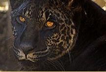 Jaglion y otros felinos híbridos