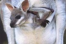 Canguros y otros marsupiales / Imágenes de canguros y otras especies de marsupiales.