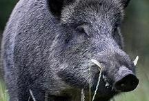 Cerdos y Jabalíes / En este tablero quiero recopilar imágenes y videos sobre cerdos y jabalies tanto en vida doméstica como silvestre, siempre desde el respecto a estos animales, sin imágenes de producción intensiva para consumo ni imágenes de caza.