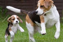 """Beagle """"Lucy"""""""