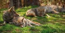Dzikie zwierzęta / Dzikie zwierzęta w naturalnym środowisku - niesamowite fotografie polskiej fauny. Zobacz galerię zdjęć! #zwierzęta #dzikie #natura #przyroda #zdjęcia #koty #dziki #wilki #ptaki #drapieżniki #roślinożercy