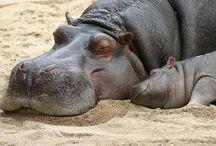 Hippo / by Joan Hendrikse