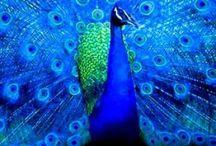 Fabulous Feathers / Gorgeous peacocks