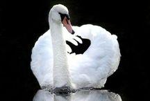 Ugly ducklings / Elegant swans