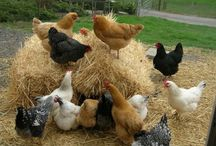 Eggcellent / Just love our chickens