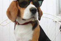 Bo Beagle