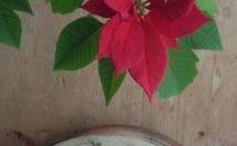 Hage og blomster / Julestjerne kan være vanskelig å få til år etter år, men denne har blitt tre år.
