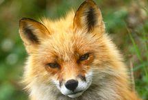Voske/fox