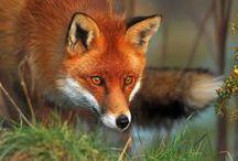 Fox / Fox <3 / by Dar Crutchfield