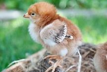 {Homesteading} Livestock / Goats, chickens, and rabbits, oh my! Whether you already have livestock or are looking to invest in some for your homestead here is a collection of homesteading tips and how tos for livestock!