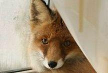 RENARD * Fox