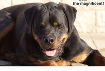 Our babies / ZULU the Rottweiler BELA the Mastiff cross